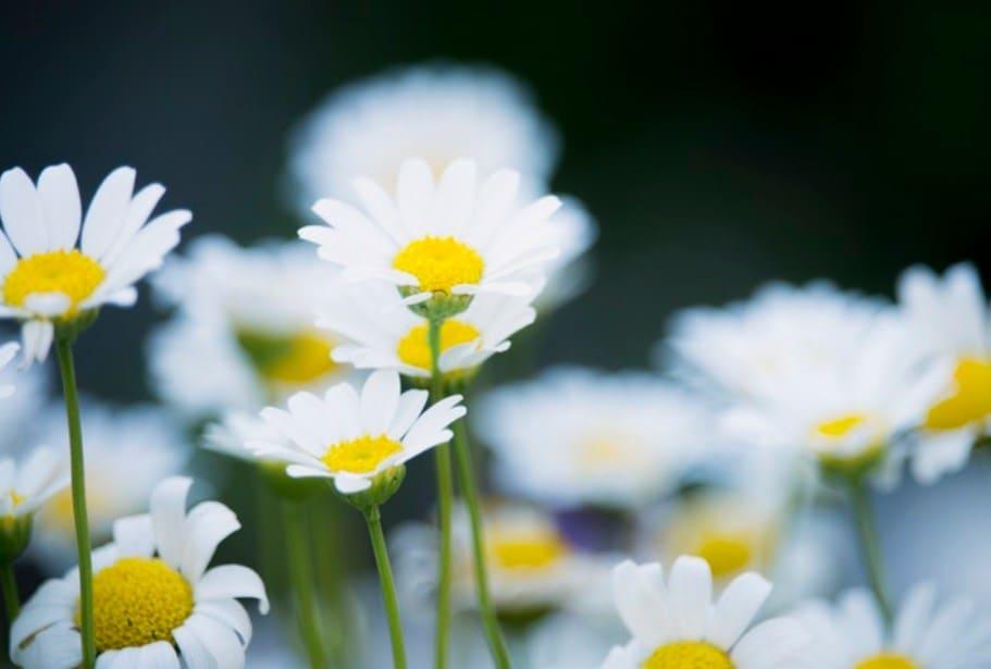 Hoa cúc - Hoa đặc trưng của mùa xuân