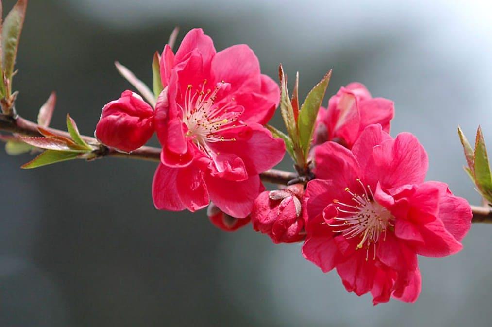 Hoa Bích đào là hoa gì