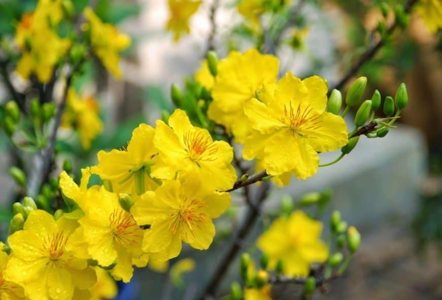 Hoa mai vàng - Loại hoa đặc trưng của mùa Xuân