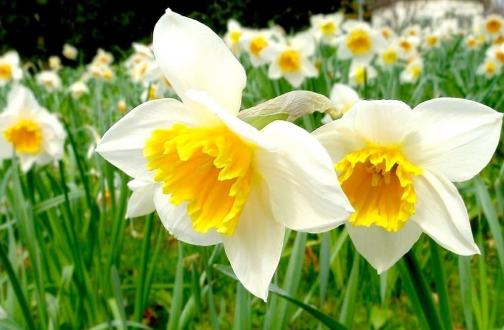 Hoa thủy tiên tượng trưng cho điều gì
