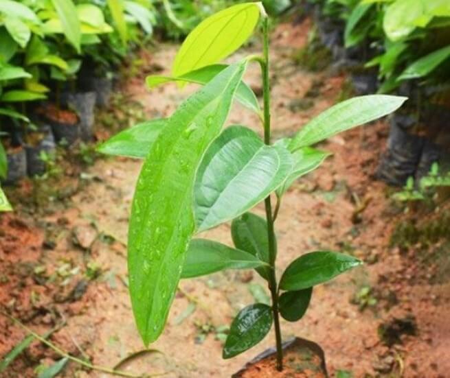 Cây quế - Kỹ thuật trồng và chăm sóc cây quế