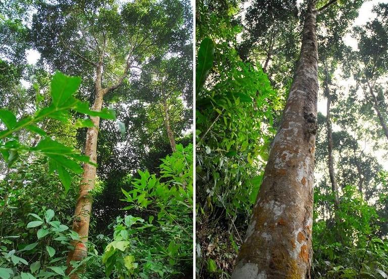 Hình ảnh cây quế rừng