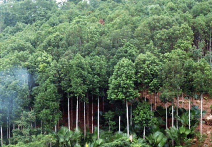 Hình cây quế rừng cao