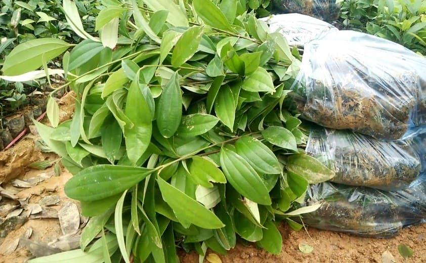 Kỹ thuật trồng cây quế
