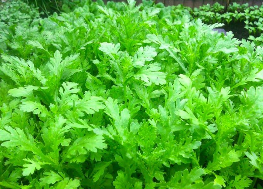 Hình ảnh cây rau cải túc