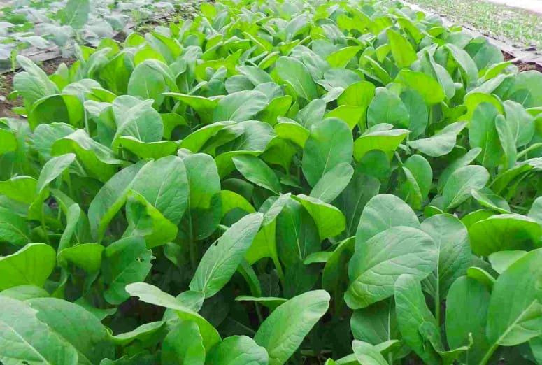 Hình ảnh cây cải ngọt Việt Nam